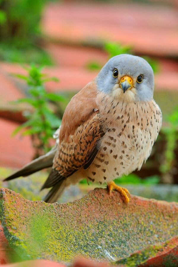 Cernícalos - ~♥~ too adorable not to pin ~♥~ This little Kestrel makes me smile. :)Agree, looking right at you! adorable picture.