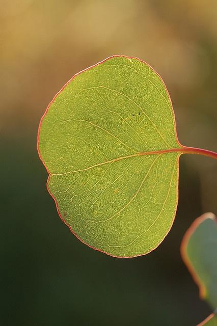 Eucalyptus leaf #beautiful #green #plant