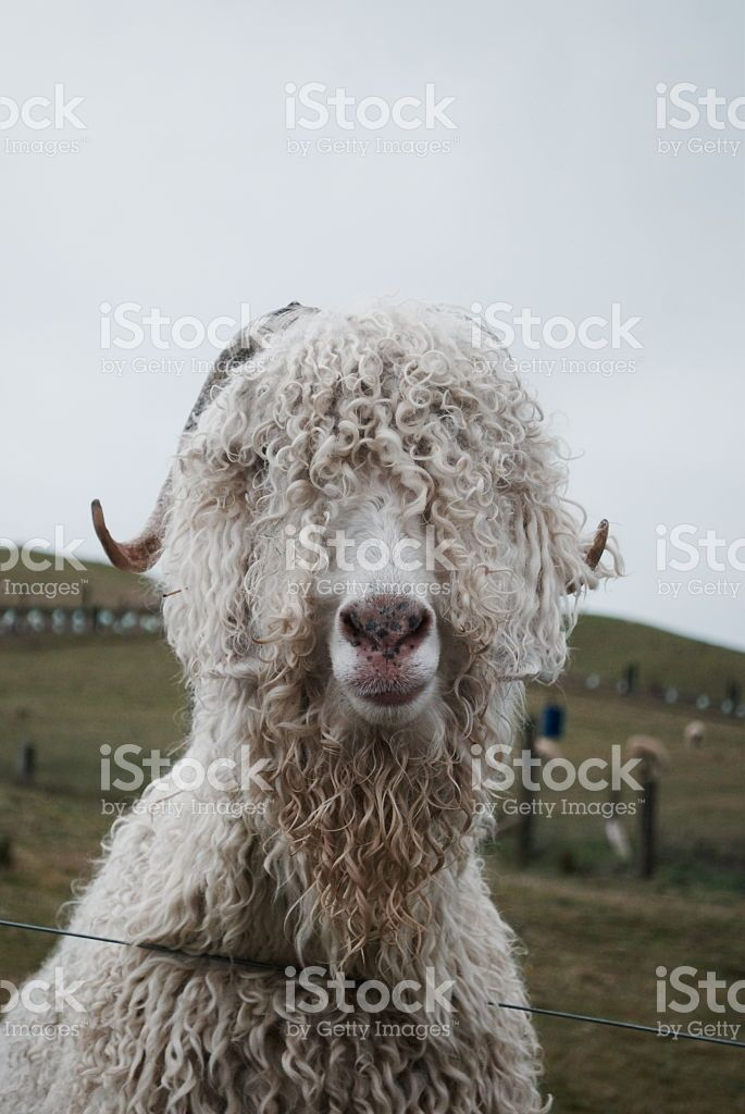 Angora Goat royalty-free stock photo