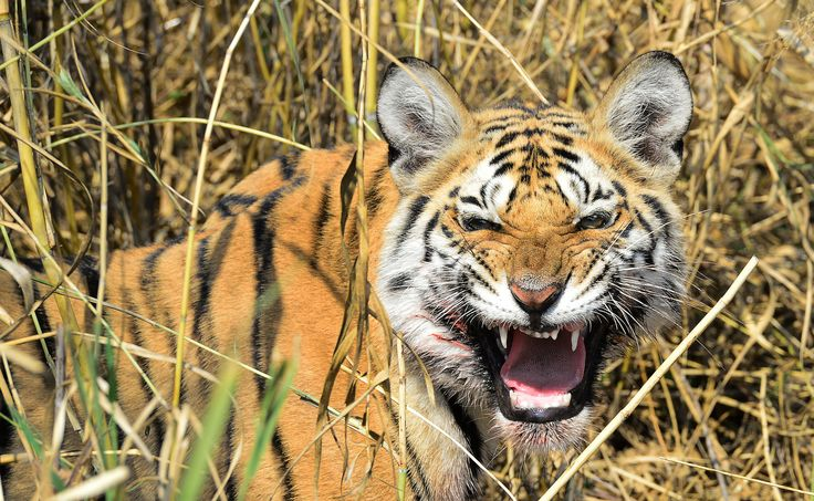 Endangered tigers under threat in Indian forest that inspired 'The Jungle Book'
