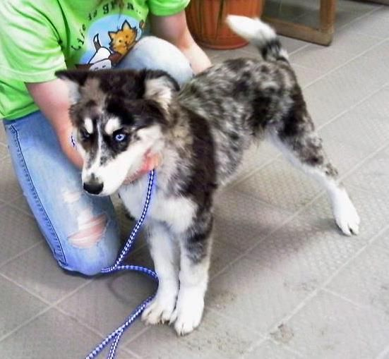 Aussie Husky mix. THESE TWO DOGS ARE MY FAVORITE TYPE OF DOG BEING MIXED AND THE DOG is I beautiful