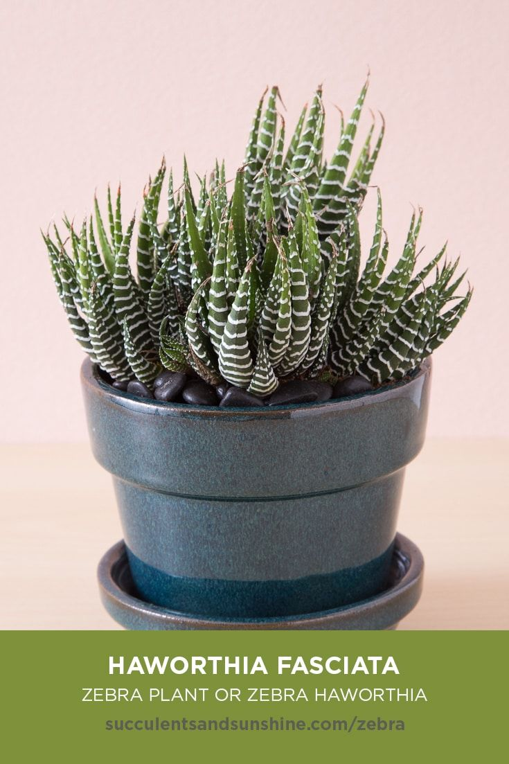 Ze Plant -- Haworthia fasciata | Ze plant, Plants ... on
