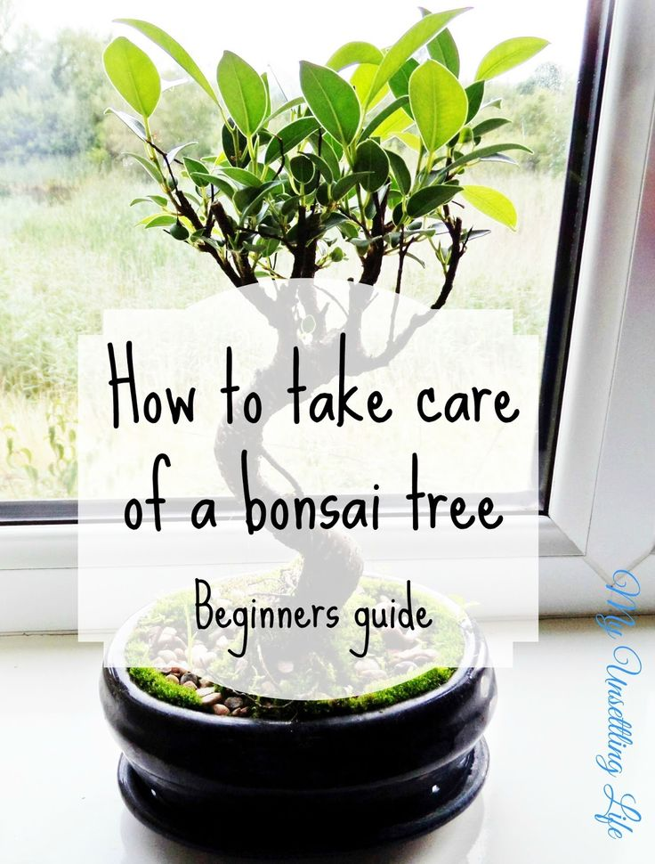 My Unsettling Life: How to take care of a bonsai tree - Beginners guide