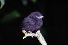Chatham Island black robin. Photo: Don Merton.