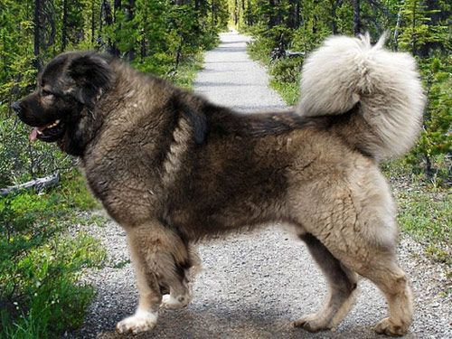 White Caucasian Mountain Dog | Caucasian Mountain