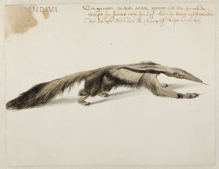Giant Anteater, Frans Post (1612–1680), watercolor and gouache, with pen and black ink, over graphite, c. 1638–1643, Noord-Hollands Archief, Haarlem inv.nr. 53004670