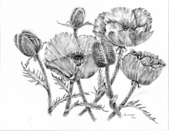 Garden Kings poppies graphite by Brenda Hill