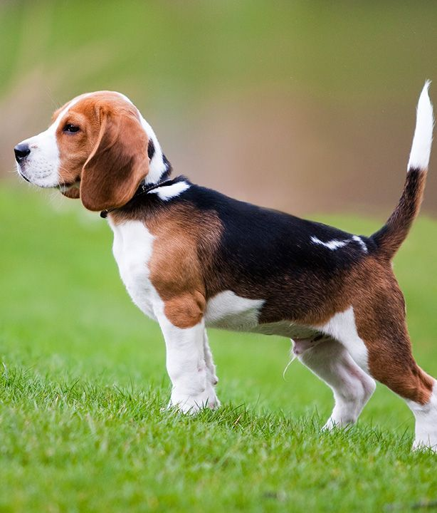 Beagles: Not only are Beagles excellent hunting dogs and loyal companions, they are also happy-go-lucky, funny, and cute! Click to learn more about lifestyle, grooming, etc. | #WOOFipedia #WOOF #Beagle