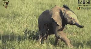 This little dude who isn't too shy to step right up and belt out his favorite show tunes. | 21 Baby Elephants Having The Best Day Ever