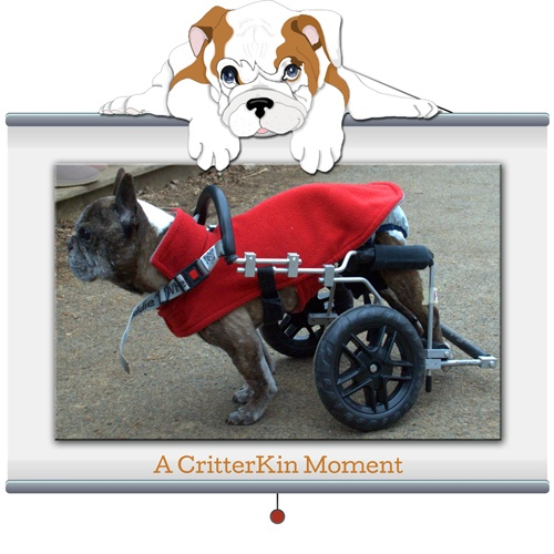 CritterKin Moment #12  This is 14-year-old Polly. She comes to us from Poughkeepsie Day School where she recently visited with her new family. Polly has had an eventful life. She was a hospital therapy dog for eight years, and now needs a cart to get around. But that didn't stop her from visiting with each and every child in the class. See: http://critterkin.com/?page_id=114