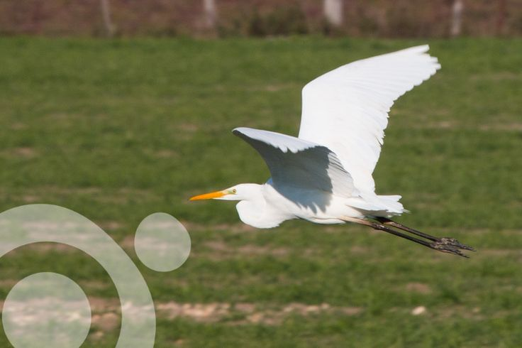 #Birding_in_Spain : Great egret in Doñana. More information to plan your trip to #Doñana in www.qnatur.com
