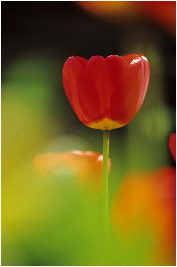 #Tulip by Steve Gosling