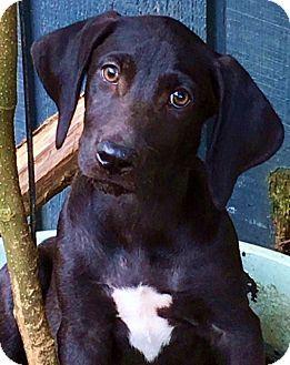 Pewaukee, WI - Labrador Retriever Mix. Meet Rolls-mom is purebred Lab, a puppy for adoption. http://www.adoptapet.com/pet/16878949-pewaukee-wisconsin-labrador-retriever-mix