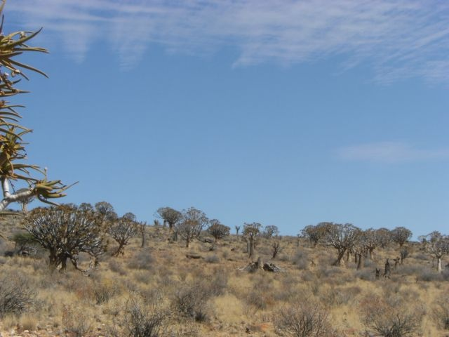 QUIVER TREE forest near Kenhardt, Northern Cape, South Africa.