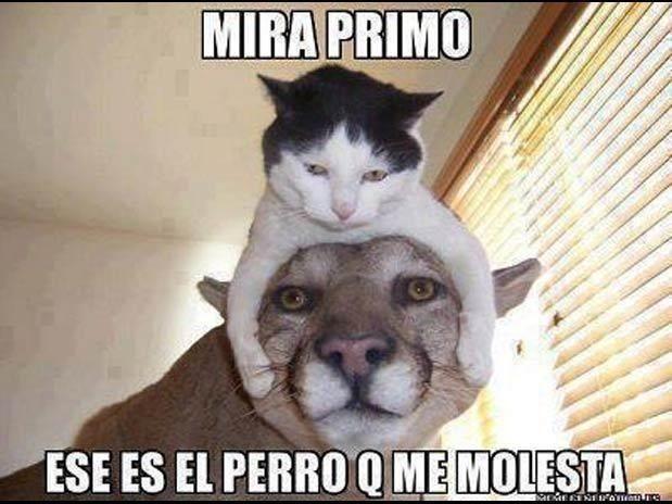 Meme De Gato Cuidado Por Su Primo Imagenes Divertidas De Animales Animales Y Mascotas Mascotas