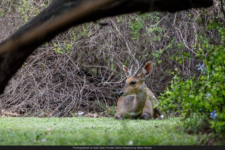 Bushbuck can often be seen around the lodge and don't seem to mind people too much.  This allowed me to get relatively close to this young male without disturbing his rumination process.