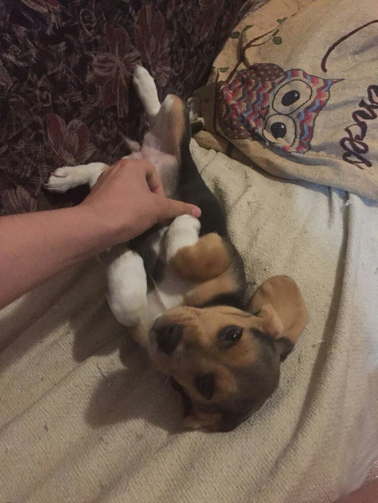 Colomba 😍 Te Amo Princesa (BeagleFan)