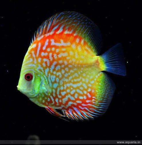 Discus.  le poisson a de belles couleurs et est très original, sa forme est aussi intéressante.
