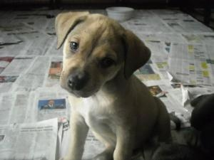 I wouldn't mind adding this little cutie to my family :o)  (German Shepherd - Pitbull Terrier mix)