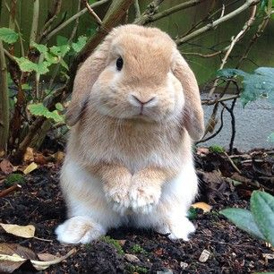 They have giant ears yet they choose not to listen to you at almost all times. | 19 Things Every Bunny Lover Understands