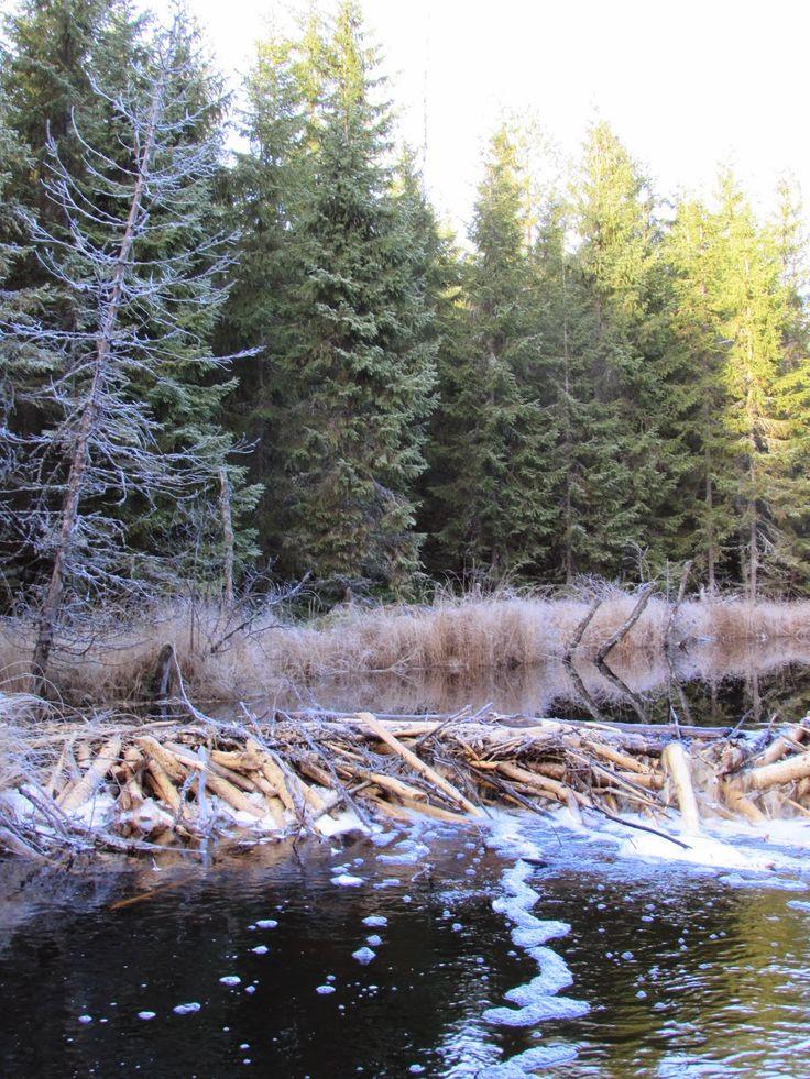 Majavan pato. Beavers dam. Seitseminen National Park.