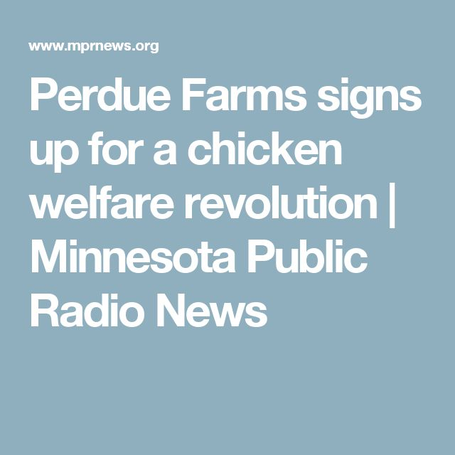 Perdue Farms signs up for a chicken welfare revolution | Minnesota Public Radio News