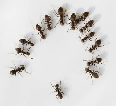 Get rid of ants. Have an ant problem? Mix coconut oil castile liquid soap and s