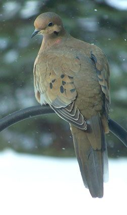 Glad to see the Morning doves back,  to my feeding station!  That niche seemed to have been taken over by the Eurasian Collared Doves, an introduced bird, that look just the same, but are larger, with a dark band around the back of their necks. - rueth