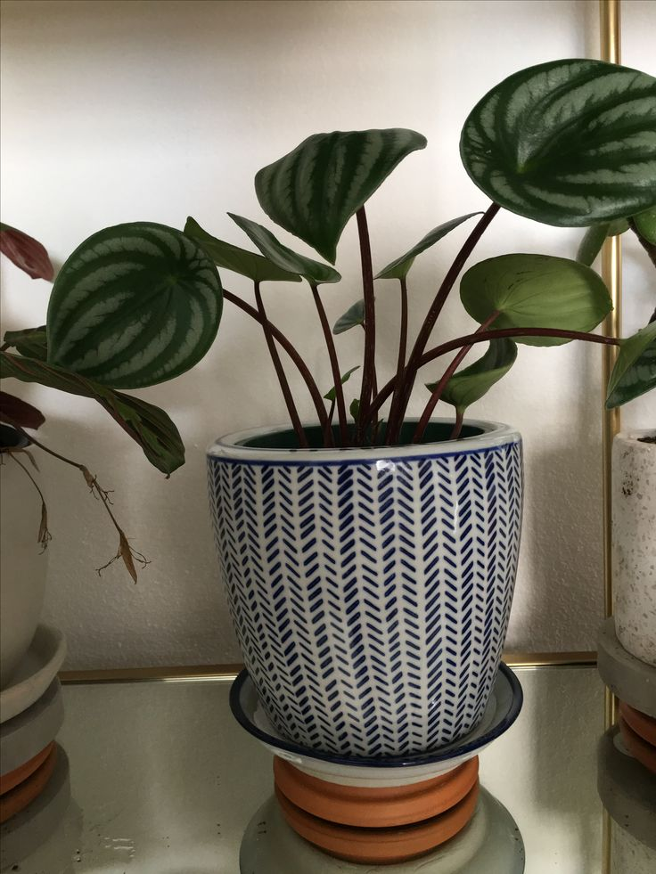 Peperomia Argyreia - watermelon  Prefer warm humid position water regularly allow to dry out and fertilise in growing season