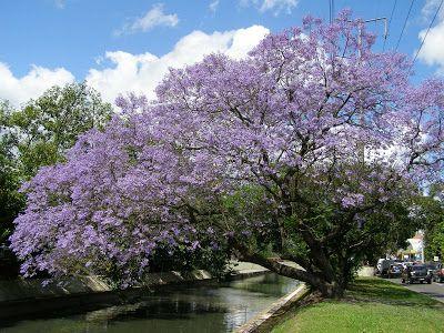 TreeSecret: Jacarandá Mimosifólia - Árvore Folha Caduca