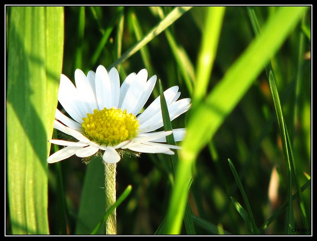 Sedmikráska Primula