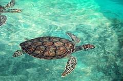 Sea turtle at Green Island, Australia