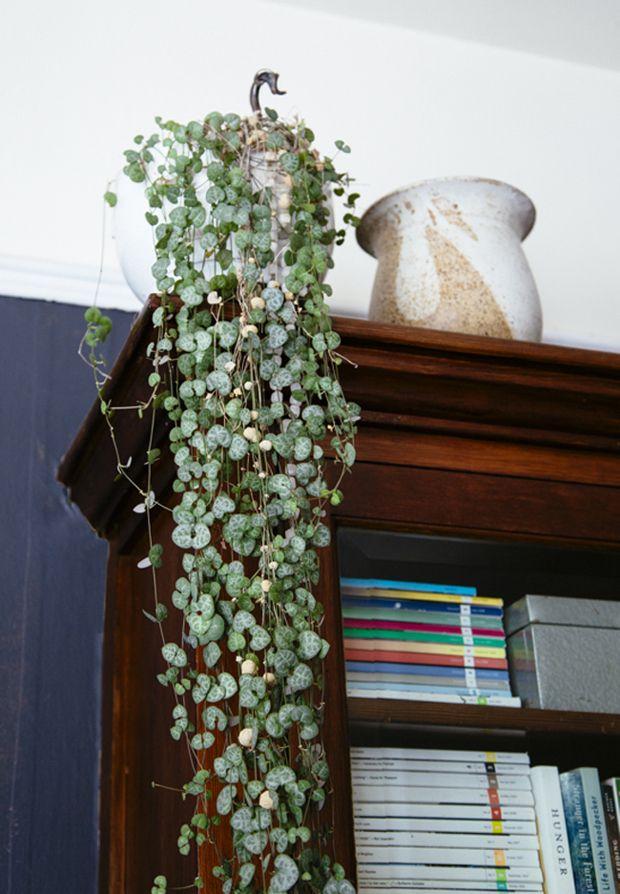 Plant-o-Pedia: String of Hearts
