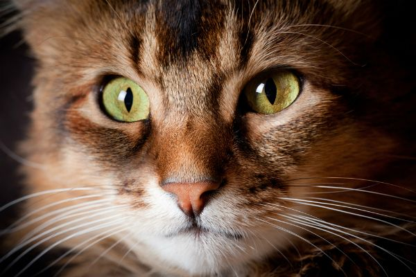 """""""Cat: A pygmy lion who loves mice, hates dogs, and patronizes humans."""" --Oliver Hertford"""