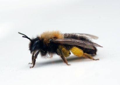 """Africanized bees are a subspecies of honeybee that resulted from the interbreeding of African bees and European bees. They were initially branded """"killer bees"""" because of their aggressive behavior. Africanized bees often attack humans and animals that stray too close to their nest."""