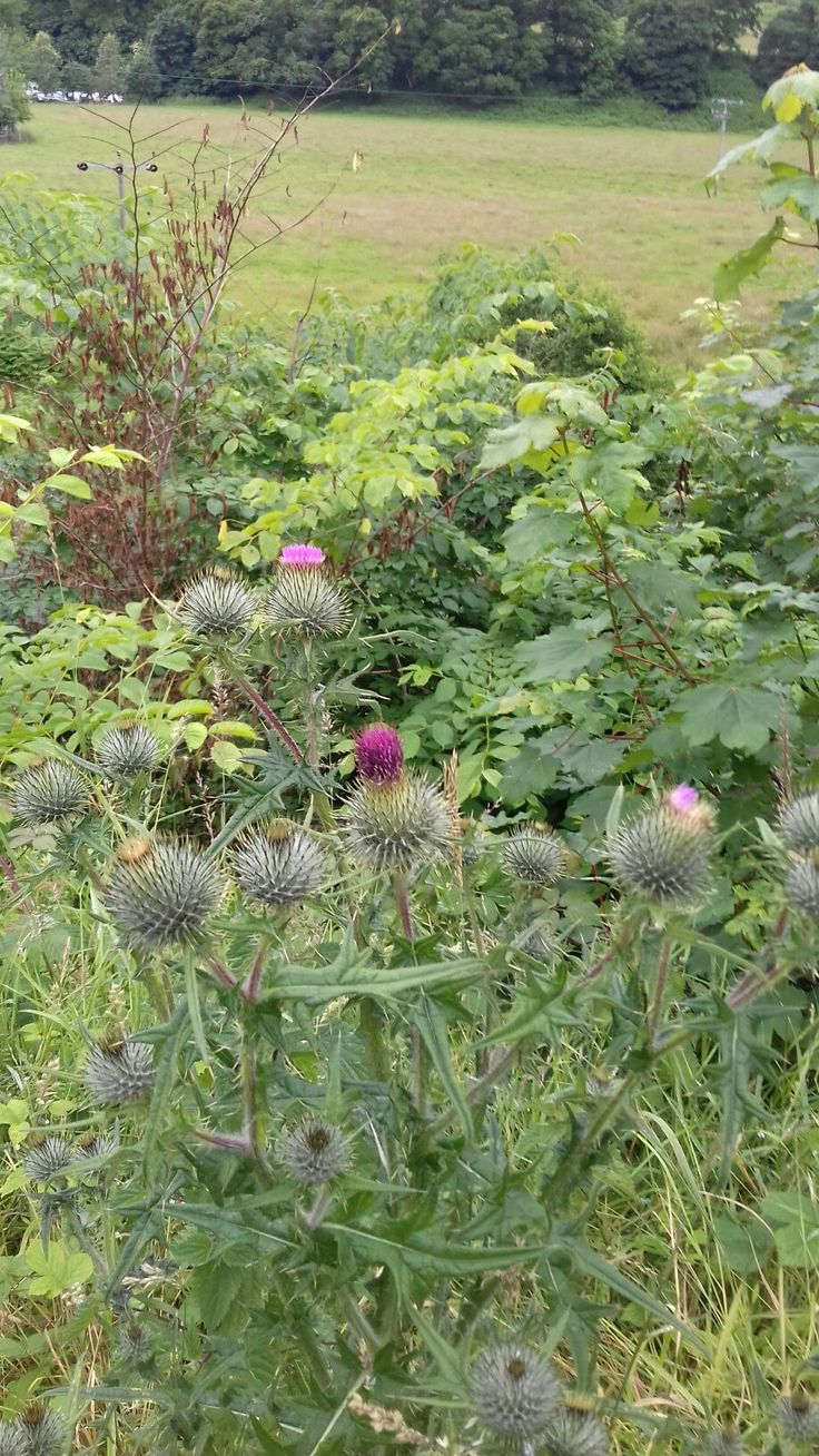 Real life Scottish thistle in person