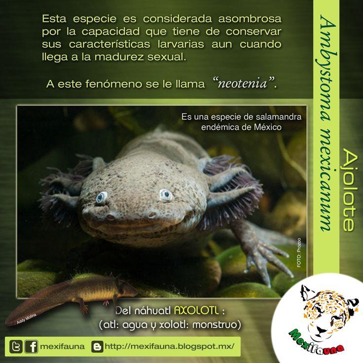 Ajolote (Ambystoma mexicanum): NEOTENIA MAYOR INFORMACIÓN: http://mexifauna.blogspot.mx/2014/08/ajolote-ambystoma-mexicanum.html