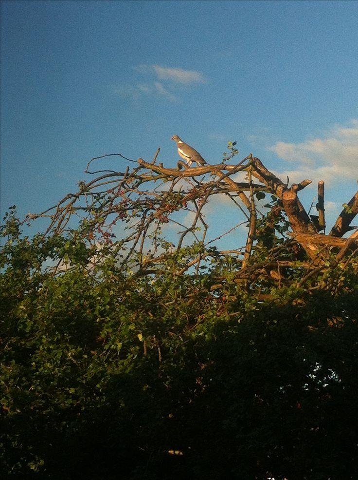 Pombo-torcaz (Columba palumbus)
