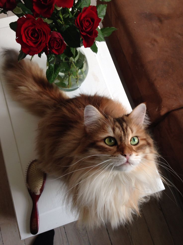 Quintus my romantic Siberian cat! The best boyfriend I ever had! :)
