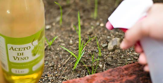 I benefici dell'aceto per le piante   Rimedio Naturale