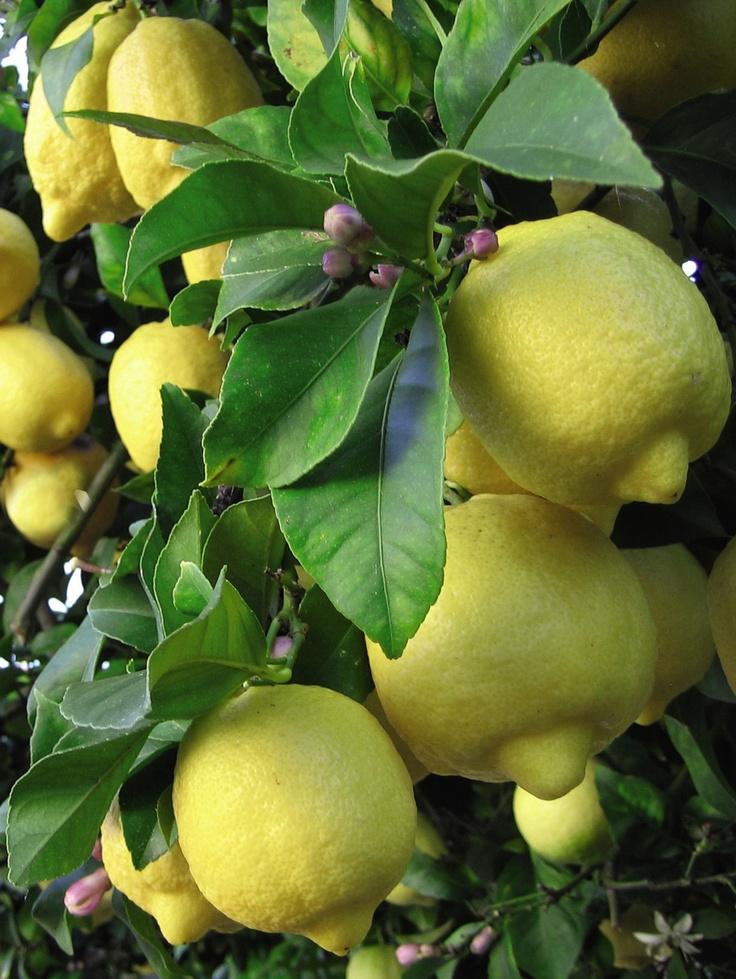 lemon (citrus limonum) = лимон ☞ произхожда от Индия, внесен в Европа от кръстоносците. лимонът съдържа богат комплекс от витамини А, B и C. лекували с него моряците на Кралския флот от скорбут. днес популярен в японските банки, където ароматът му помага за по-малко грешки на работното място. етеричното масло от лимон се използва срещу инфекции, за стимулиране на имунната система, за по-добро кръвообращение, срещу целулит, и мазна кожа. фоточувствително.