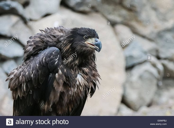 Download this stock image: Portrait of a beautiful Golden Eagle in a profile view - G0WPBJ from Alamy's library of millions of high resolution stock photos, illustrations and vectors.