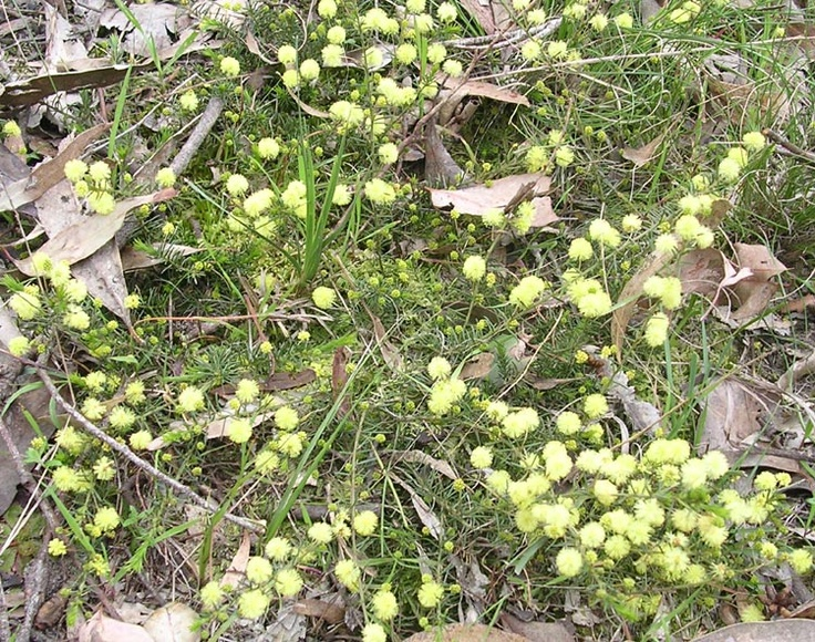 "Local ""Rockery"" plants - Acacia Aculeatissima (Thin leaf wattle)"