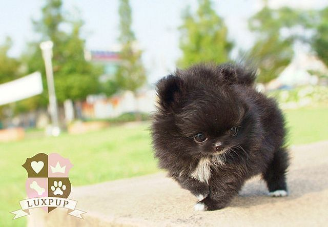 Teacup Pomeranian    Like, repin, share! :)