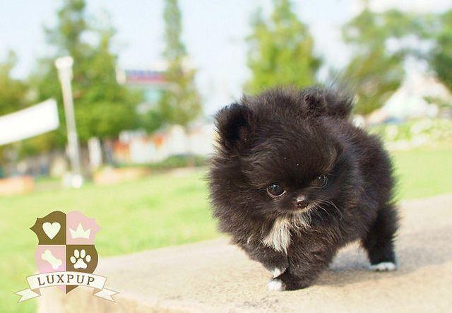 Teacup Pomeranian by LuxPup, via Flickr