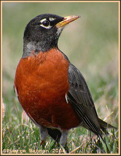 Merle d'Amérique, Turdus migratorius, American Robin
