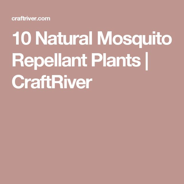1000 ideas about Natural Mosquito Repellent Plants – Mosquito Repellent Plants for Your Garden