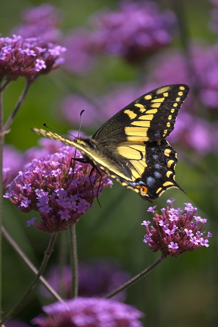 <3   Verbena bonariensis--butterfly magnet  Also called Brazilian verbena