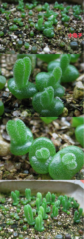 Mini-planta orejitas de conejo!! Lstima que est en japons y no se