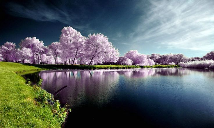: Cherries Blossoms, Mirror Photography, Purple Trees, Natural Photography, Pink Trees, Amazing Natural, Color, Natural Pictures, Mothers Natural